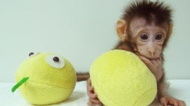 """أول عملية استنساخ لقرد باستخدام تقنية النعجة """"دوللي"""""""