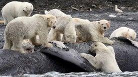 الدب القطبي يتغذى على الحيتان النافقة من أجل البقاء