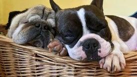 الكلاب ذات الوجه المسطح الأكثر تفضيلًا رغم مشكلاتها الصحية