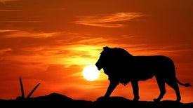 إستراتيجية جديدة لحماية أسود أفريقيا من الانقراض