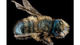 نحل العسل يفقد بديلًا واعدًا