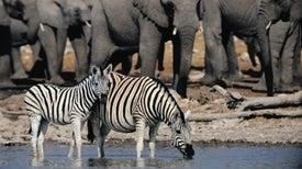 الحيوانات الضخمة أكثر قدرةً على التأقلم وعدم الانقراض