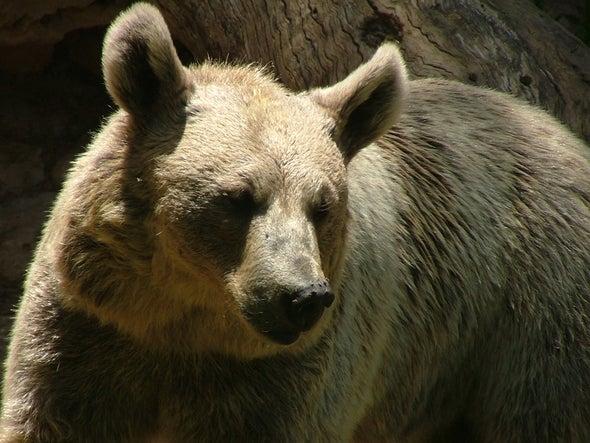 الدب السوري يعاود الظهور في لبنان بعد أكثر من 60 عامًا على اختفائه!