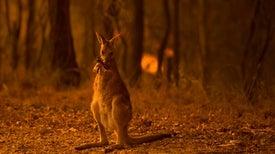حرائق الغابات في أستراليا من المرجح أن تكون قد دمرت الحياة البرية، وآثارها سوف تتفاقم