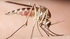 الفيروسات تختَطِفُ الخلايا المناعية المستجيبة للدغات البعوض