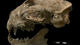 """الحيوانات المفترسة أدت دورًا مهمًّا في تشكيل حضارة """"المايا"""""""