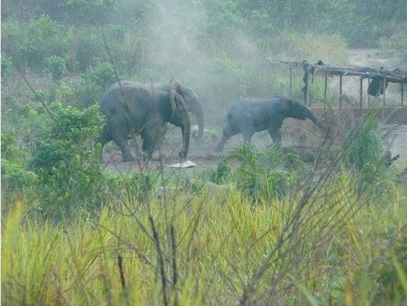 الأفيال تنقرض سريعًا في ساحل العاج