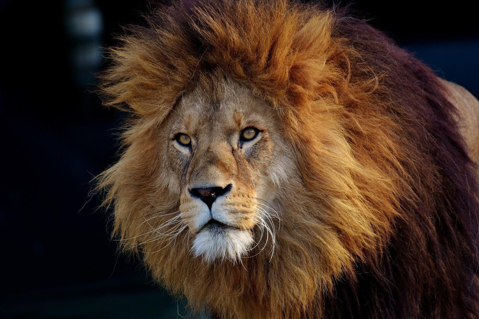 احلى صوره لملك الغابه
