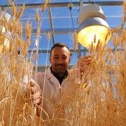 تقنية جديدة لتسريع معدلات زراعة القمح