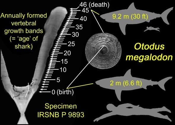 طول أجنة قرش «الميجالدون» بلغ مترين