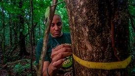 أشجار الغابات الاستوائية المعمرة أفضل مخازن للكربون