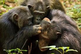 مثل البشر.. «الشمبانزي» يبحث عن العلاقات الإيجابية مع التقدم في العمر