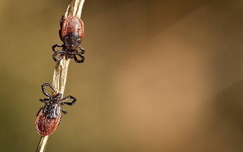 القراد Ticks 3