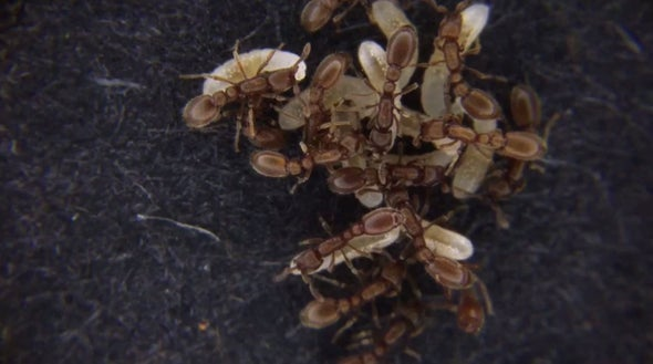 """هرمون يتحكم في """"النظام الطبقي"""" لمستعمرات النمل"""