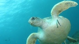 نفايات البلاستيك تهدد حياة السلاحف الصغيرة