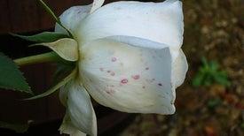 إلدون دبليو لايل...الرجل الذي أهتم بصحة الورود