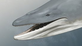 """التطور أفقد """"الحوت الباليني"""" أسنانه قبل 34 مليون سنة"""