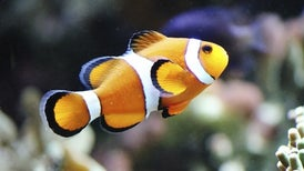 التكيُّف مع الكربون: الآثار المتوارثة لتغيُّر المناخ على أسماك الشعاب المرجانية