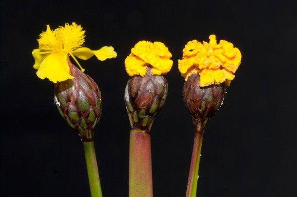 هذه الزهرة هي في الحقيقة فطرٌ متخفٍّ