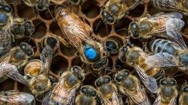 """الغذاء وحجم الغدد التناسلية وراء تتويج """"ملكات"""" النحل"""