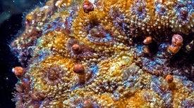 مرجان البحر الأحمر مهدد بالانقراض