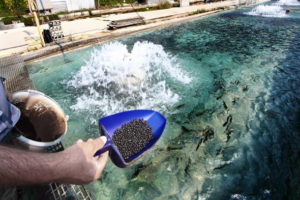 الأسماك الاصطناعية قد تساعد الاستزراع المائي على الاستمرار في توفير الغذاء للعالم