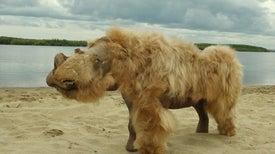 المناخ وليس البشر هو الذي تسبَّب في انقراض «وحيد القرن الصوفي»