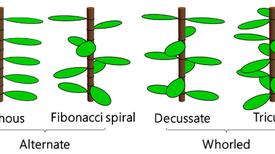 الكشف عن آلية ترتيب أوراق النباتات