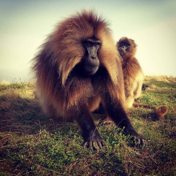 الرئيسيات قد تصل إلى مرحلة البلوغ بوتيرة أسرع عند ظهور ذكور جديدة في مجموعتها