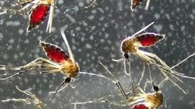 لدغة البعوض تهدد الجهاز المناعي للإنسان