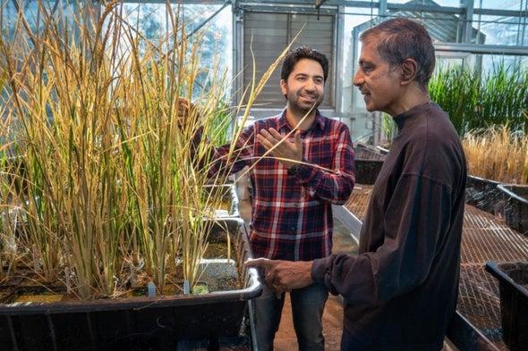 «ثورة زراعية» .. تعديل جيني يسمح بتكاثر الأرز لاجنسيًّا