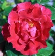 علماء يكشفون السر وراء رائحة الورد الجذابة