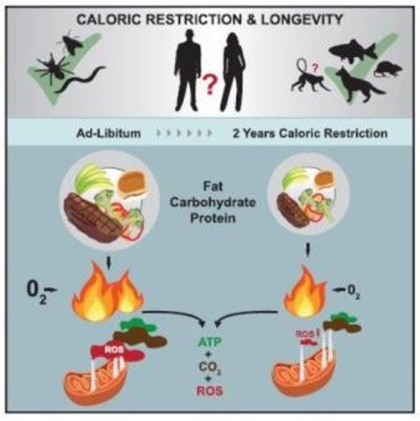 تقليل السعرات الحرارية يبطئ أمراض الشيخوخة