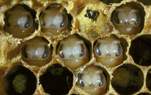 رائحة الموت: نحل العسل يستخدم الروائح لاكتشاف الحضنات الميتة