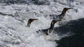 70% من البطريق مهدد بالاندثار قبل نهاية القرن