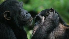 """""""البونوبو"""" و""""الشمبانزي"""" يشتركان في الإيماءات الجسدية نفسها"""