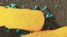 اشتعال سباق التسلُّح بين البكتيريا والعاثيات