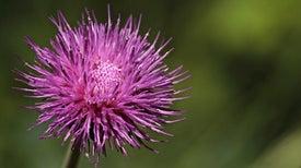 تركيبة نانوية لعشبة السليمارين تكافح الأورام السرطانية