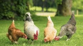 هل دفعت معتقدات البَشر الدينية الدجاج إلى طريق تطوُّري جديد؟