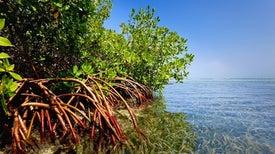 ارتفاع مستوى سطح البحر يهدد بفَناء أشجار المانجروف