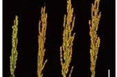 نهج جديد لتعظيم الاستفادة من الأسمدة النيتروجينية في محصول الأرز