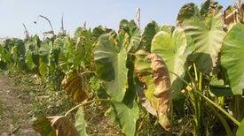 حصاد حزين.. مصانع الأسمدة الكيماوية تقتل فرحة المزارعين