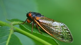ما زلنا عاجزين عن فهم سلوك حشرات الزيزيات الصاخبة