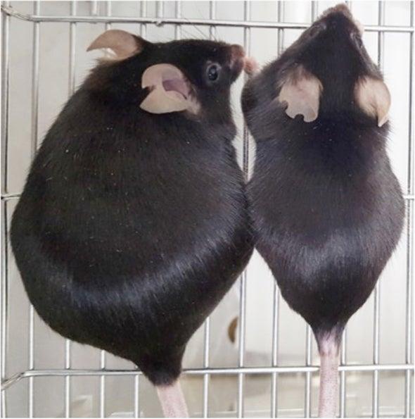 ضبط تكوُّن الخلايا الدهنية