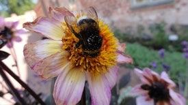رحلات التعلُّم تساعد النحل الطنان على معرفة طريقه إلى أفضل الزهور