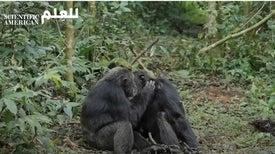 أوجُه التشابه بين صداقات البشر وصداقات الشمبانزي