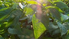 المستقبِلات الكامنة وراء تكيُّف أوراق النباتات مع التغيُّرات طويلة الأجل