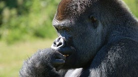 عدسات الباحثين ترصد الاختلافات السلوكية بين القردة