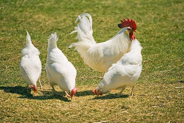 «إي– كولاي» الدجاج تصيب البشر بالتهابات المسالك البولية