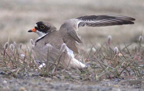 تغير المناخ قد يقلل من حاجة الطيور الساحلية إلى الهجرة شمالًا